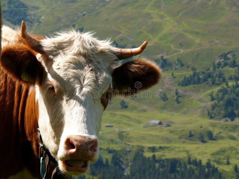 Закройте вверх русой с волосами коровы стоковые изображения