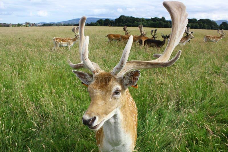 Закройте вверх самца оленя ланей в зеленом поле Парк Феникс, Дублин, Ирландия стоковые изображения