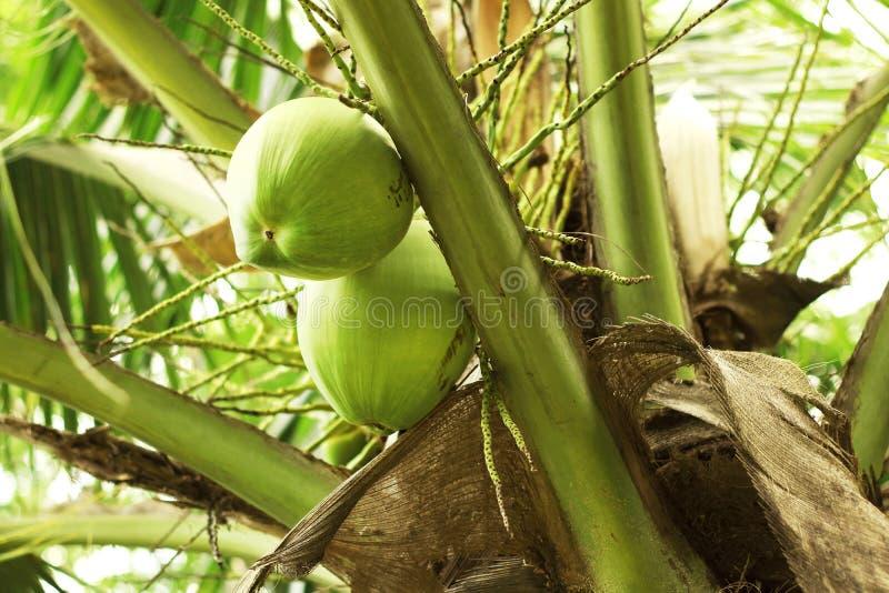 Закройте вверх свежего молодого зеленого кокоса вися на дереве стоковые фотографии rf