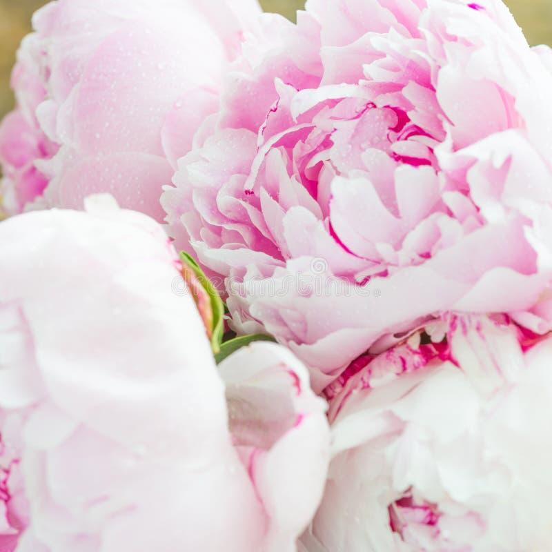 Закройте вверх свежего пука розовых пионов на белой предпосылке стоковое фото