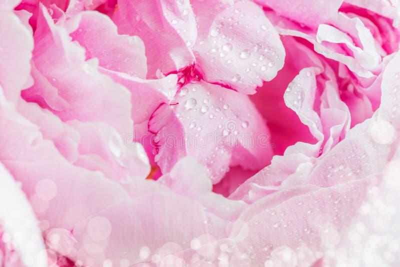 Закройте вверх свежего пука розовых пионов на белой предпосылке стоковая фотография