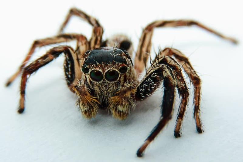 Закройте вверх скача паука стоковое изображение rf