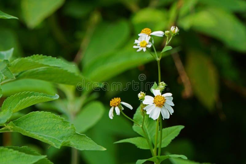 Закройте вверх стержней wildflower в поле Pilosa Bidens стоковое фото