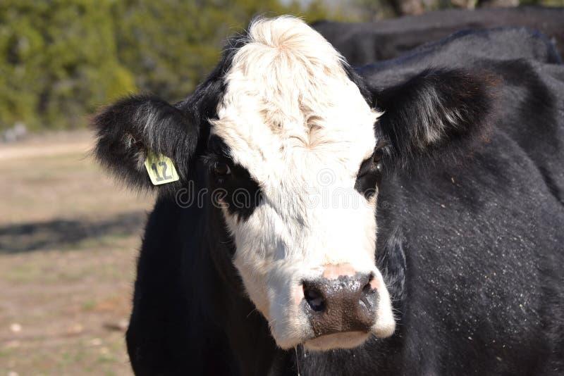 Закройте вверх стороны коровы говядины Hereford стоковое фото