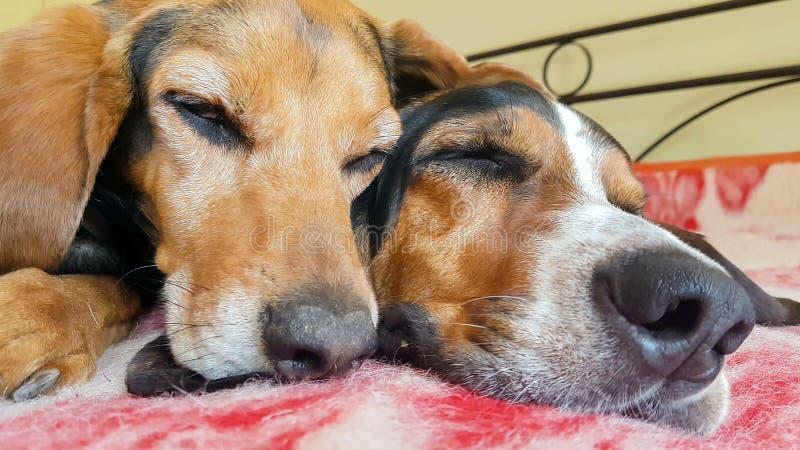 Закройте вверх стороны пар собаки спать - мимо - сторона Смешной милый момент акции видеоматериалы