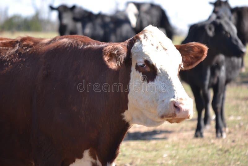 Закройте вверх стороны смотреть на белизной коровы Hereford стоковое фото