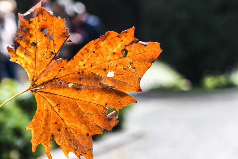 Закройте вверх сухого оранжевого кленового листа Место осени стоковая фотография