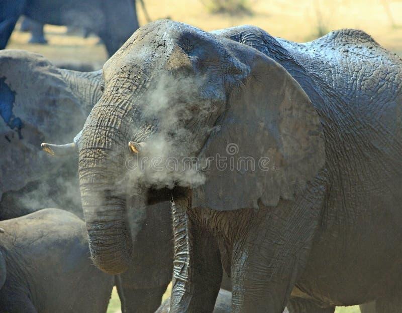 Закройте вверх слона распыляя с пылью для того чтобы держать холодный в национальном парке Hwange, Зимбабве, Южной Африке стоковые изображения rf