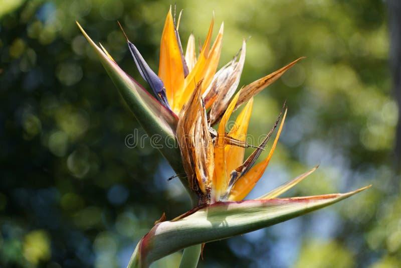 Закройте вверх с цветками Мадейры специфическими стоковое фото