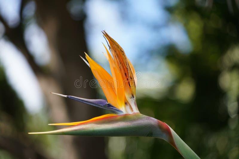 Закройте вверх с цветками Мадейры специфическими стоковое изображение