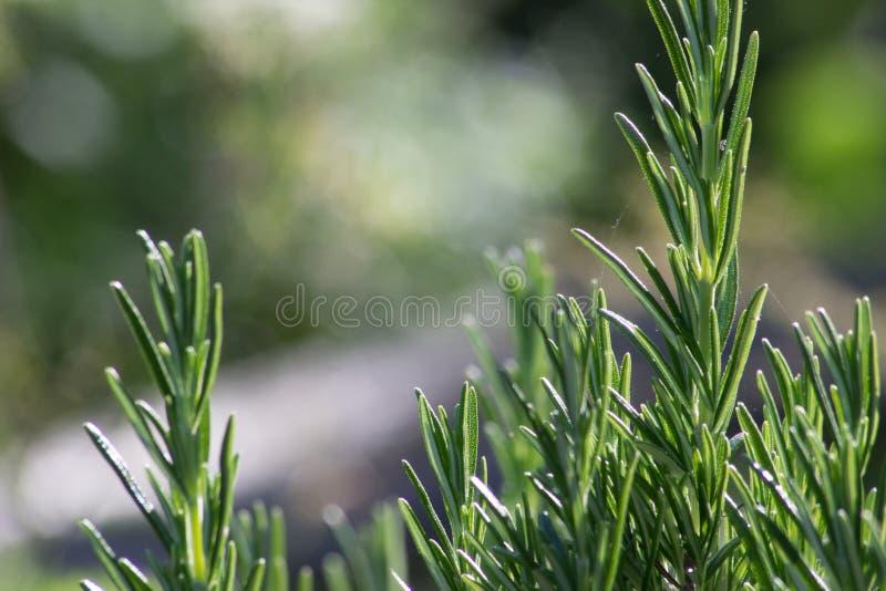Закройте вверх травы розмаринового масла стоковое изображение