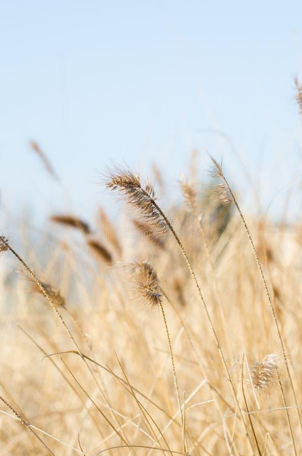 Закройте вверх травы marram стоковая фотография rf
