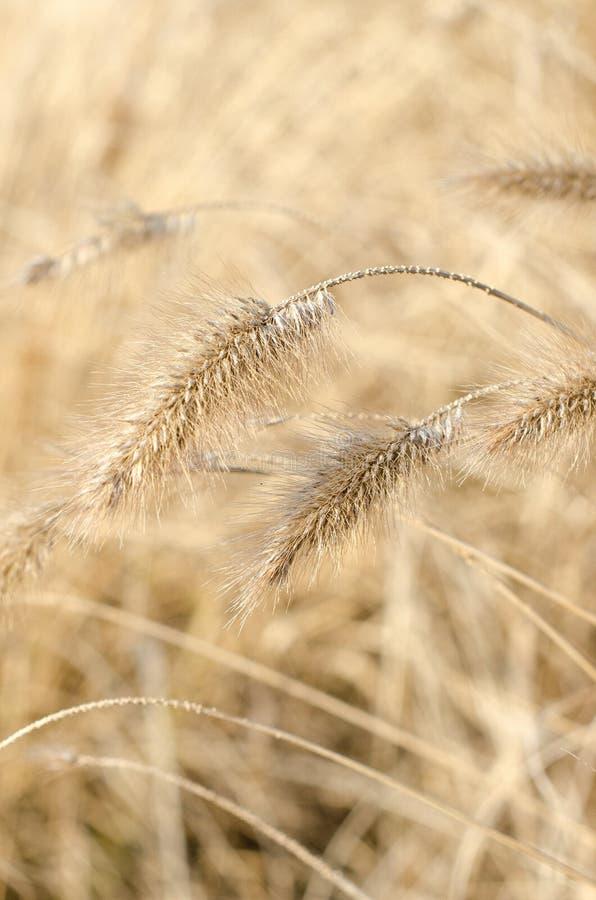 Закройте вверх травы marram стоковое изображение rf