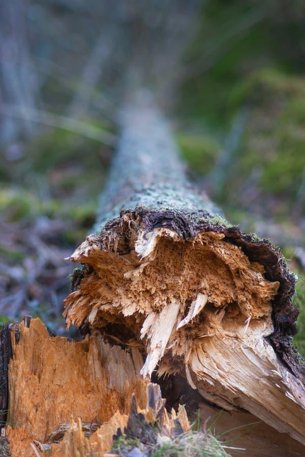 Закройте вверх упаденного дерева стоковая фотография rf