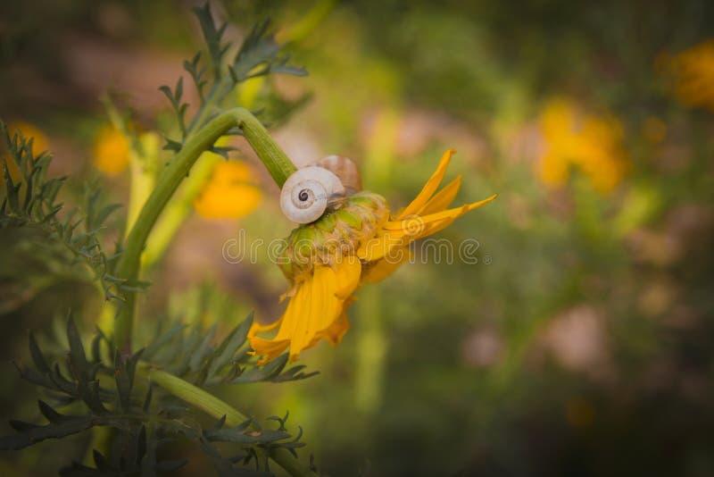 Закройте вверх улитки на желтом цветке хризантемы стоковые изображения rf