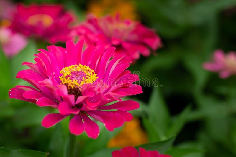 Закройте вверх фиолетового цветка Zinnia цветок белого Zinnia в ga стоковые фотографии rf