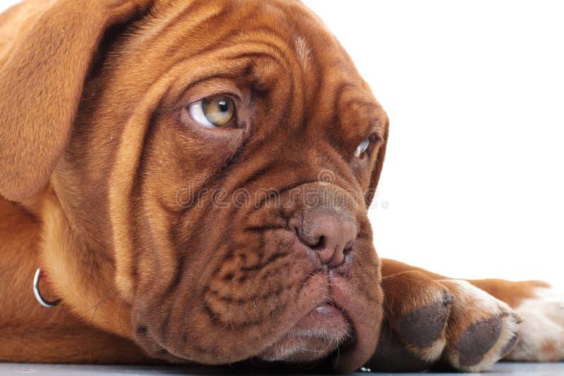 Закройте вверх французский смотреть ` s щенка mastiff головной прочь стоковая фотография