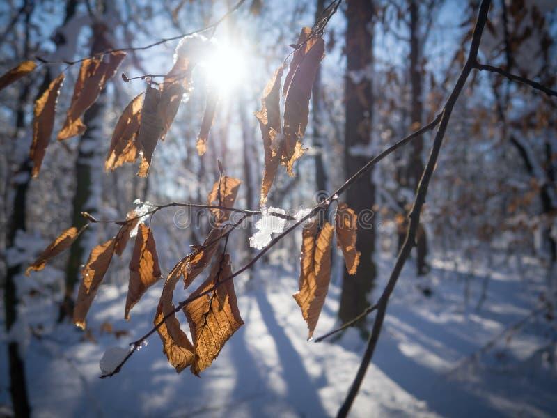 Закройте вверх хворостины бука покрытой снегом стоковые изображения rf