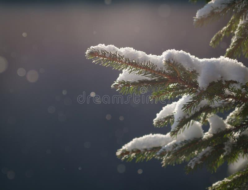 Закройте вверх хворостины покрытой снегом елевой стоковая фотография