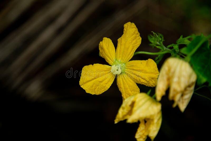 Закройте вверх цветка горькой тыквы яркого желтого стоковая фотография