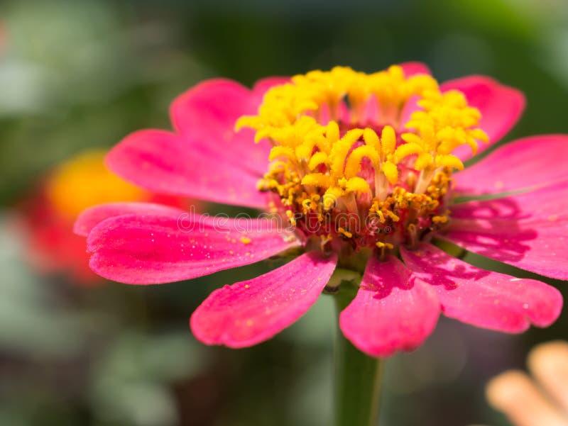 Закройте вверх цветка zinnia стоковые фото