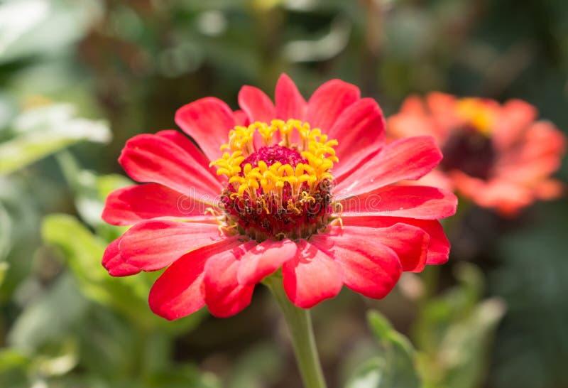 Закройте вверх цветка zinnia стоковые изображения rf