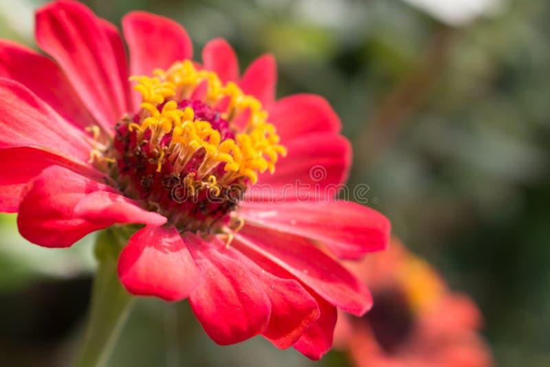 Закройте вверх цветка zinnia стоковое изображение