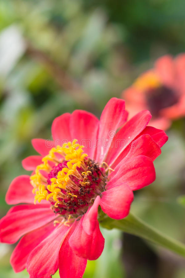 Закройте вверх цветка zinnia стоковые изображения