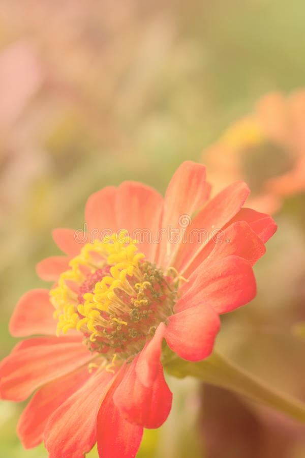 Закройте вверх цветка zinnia стоковая фотография rf