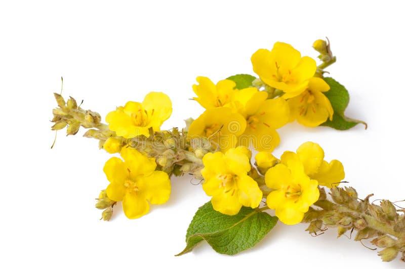 Закройте вверх цветков изолированных mullein thapsus Verbascum большего или общего mullein стоковые изображения rf