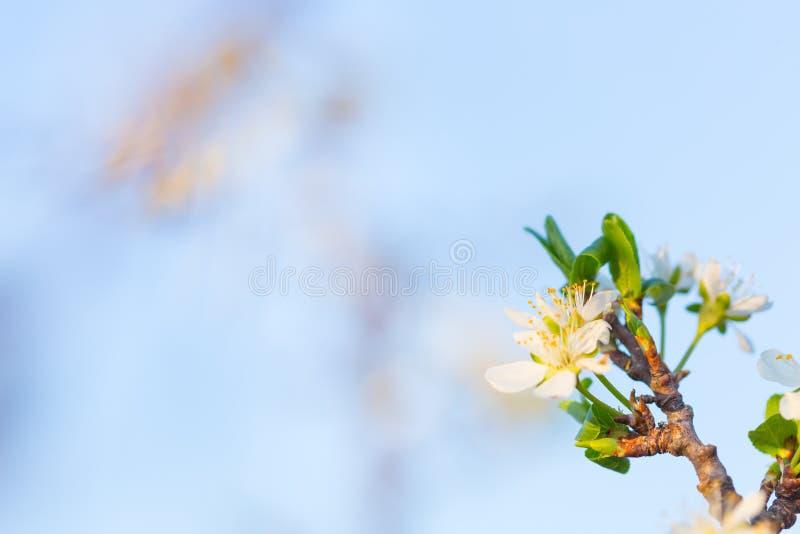 Закройте вверх цветков сливы зацветая весной Цветки цветения изолиро стоковое изображение