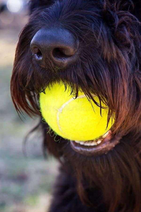 Закройте вверх черной собаки держа желтый теннисный мяч в рте стоковые фото