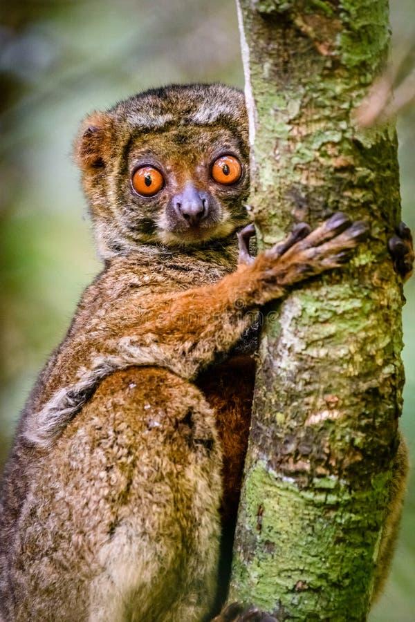 Закройте вверх шерстистого лемура льнуть к дереву стоковая фотография rf