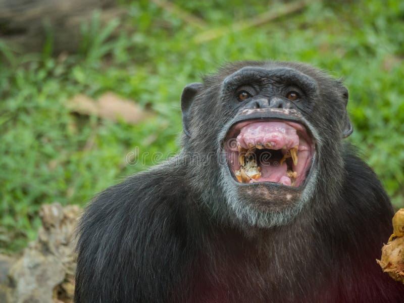 Закройте вверх шимпанзе есть дуриан и смеяться над стоковое изображение rf