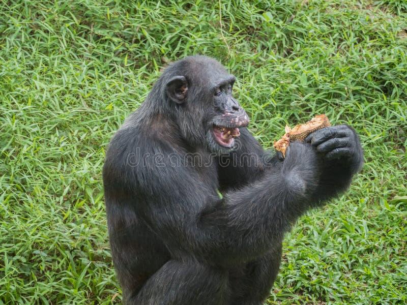 Закройте вверх шимпанзе есть дуриан стоковые изображения