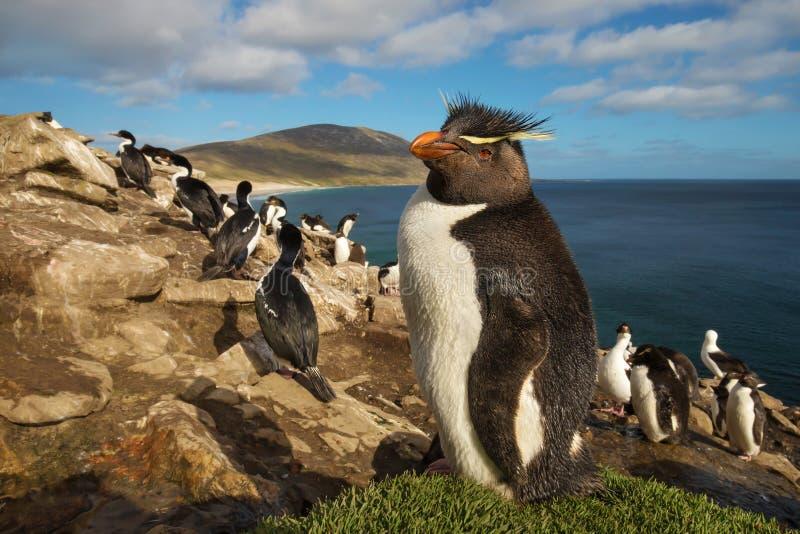 Закройте вверх южного пингвина rockhopper стоя на траве стоковое фото