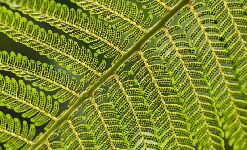 Закройте вверх ярких ых-зелен лист папоротника с спорами на раскосной завалке с рамкой стоковые фотографии rf