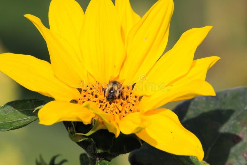 Закройте вверх яркого желтого annuus подсолнечника цветеня солнцецвета с изолированной опыляя пчелой - Viersen, Германией стоковая фотография