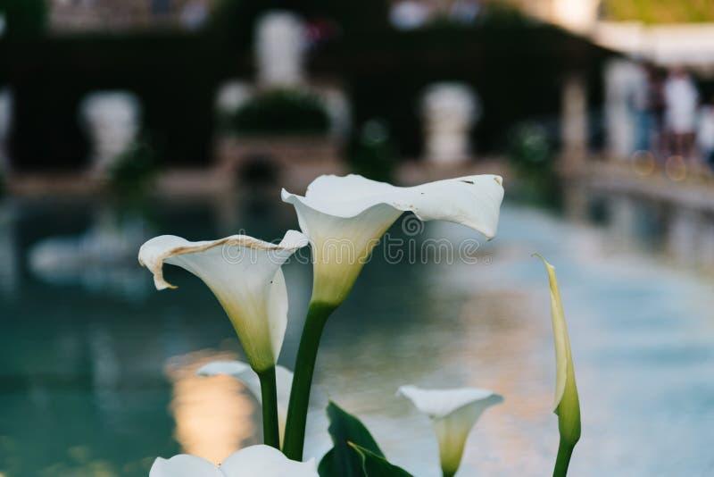 Закройте вверх aethiopica Zantedeschia, цветка лилии arum белого стоковая фотография