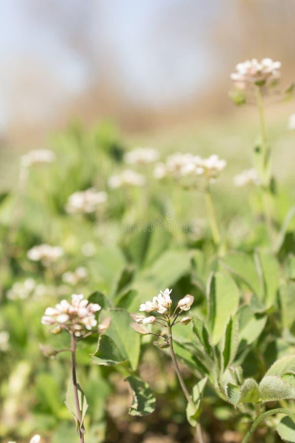 Закройте вверх Capsella Бурсы-pastoris, своим общим Чабан-портмонем имени стоковые изображения