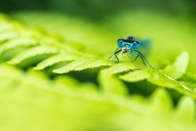Закройте вверх elegans Сине-замкнутых Ischnura infuscans красотки есть ошибку стоковая фотография