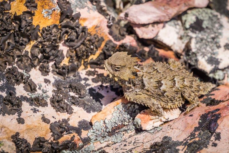 Закройте вверх Phrynosoma Coronatum смешивая со скалистой местностью, башенк национального парка Horned ящерицы побережья, Калифо стоковая фотография rf