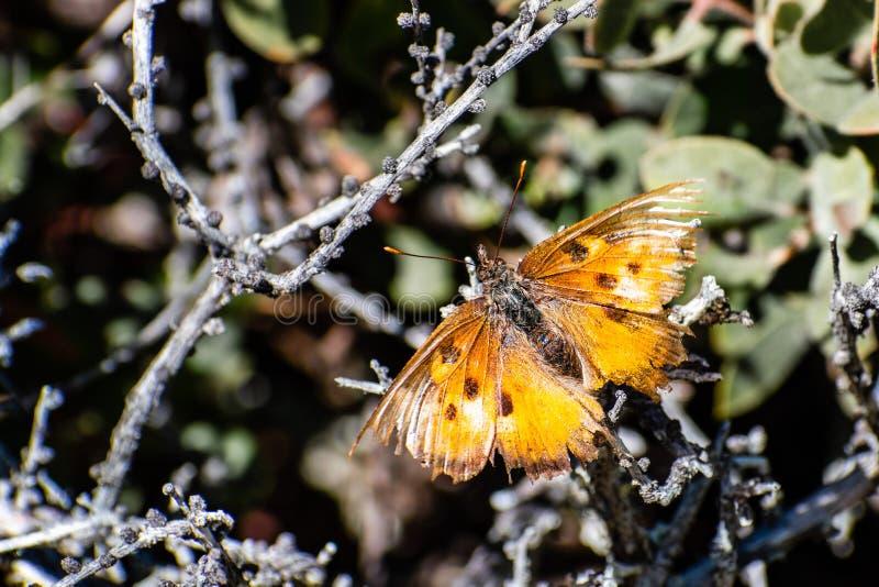 Закройте вверх satyrus с растрепанными крыльями, области Polygonia бабочки запятой сатира San Francisco Bay, Калифорния стоковое фото