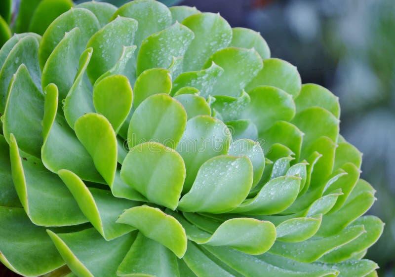 Succulent Echeveria стоковая фотография rf