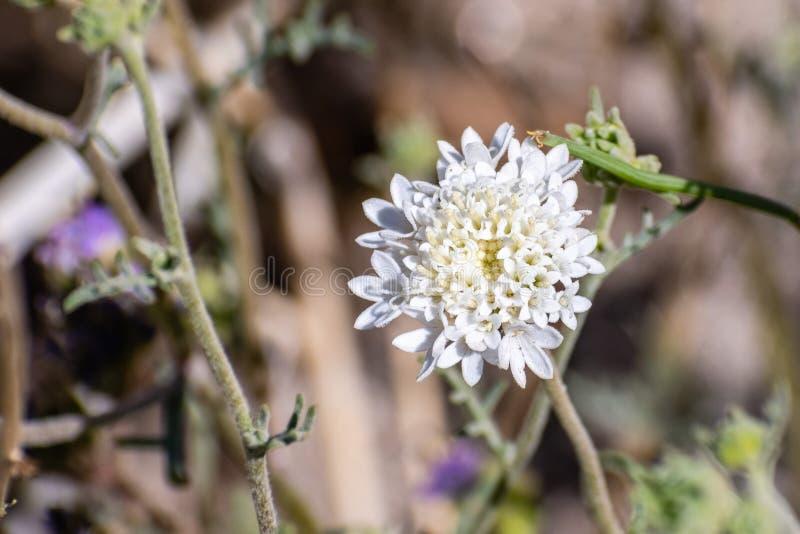 Закройте вверх wildflower pincushion fremont fremontii Chaenactis или pincushion пустыни, парка штата пустыни Anza Borrego, стоковые фотографии rf