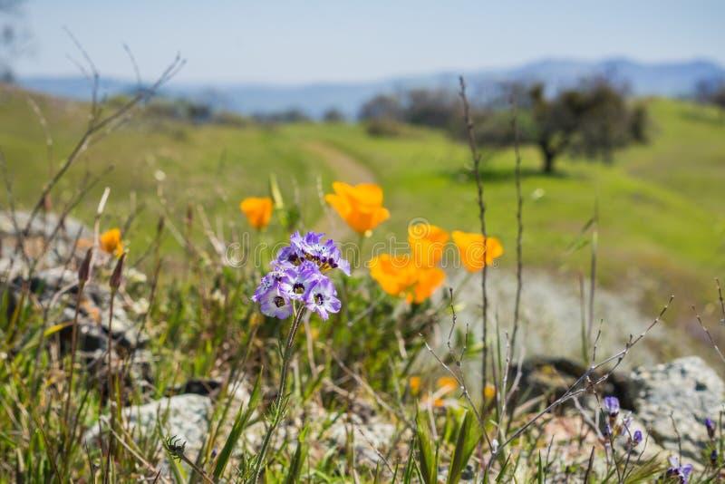 Закройте вверх wildflowers Gilia, запачканных маков на заднем плане, Генри w Парк штата Coe, Калифорния; выборочный фокус стоковое фото