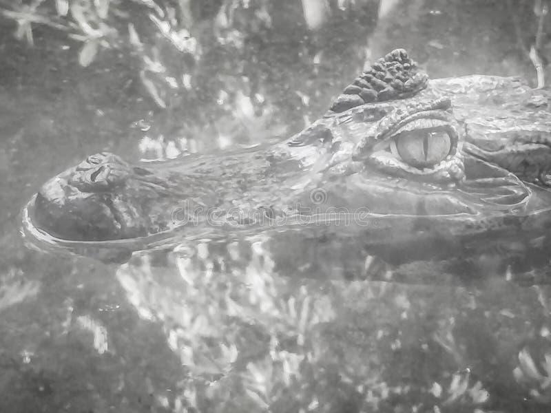 Закройте до большого и пугающего глаза cro Caiman (Caimaninae) стоковая фотография