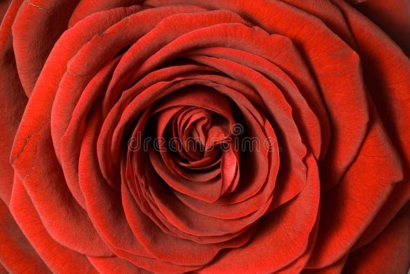 закройте поднимающее вверх лепестков красное розовое стоковые изображения rf