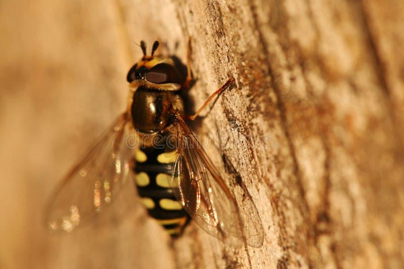 закройте hoverfly вверх стоковые фото
