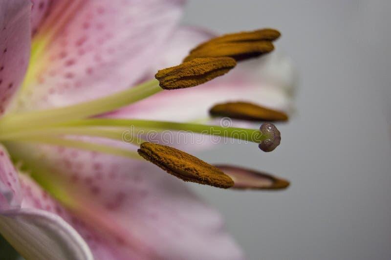 закройте lilly вверх стоковые фото